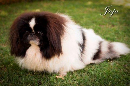 pekingese breeder gauteng | SanSaw Kennels