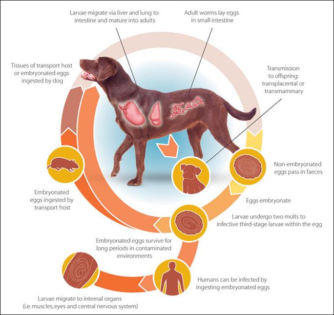 Understanding Spirocercosis The Silent Killer Sansaw Kennels